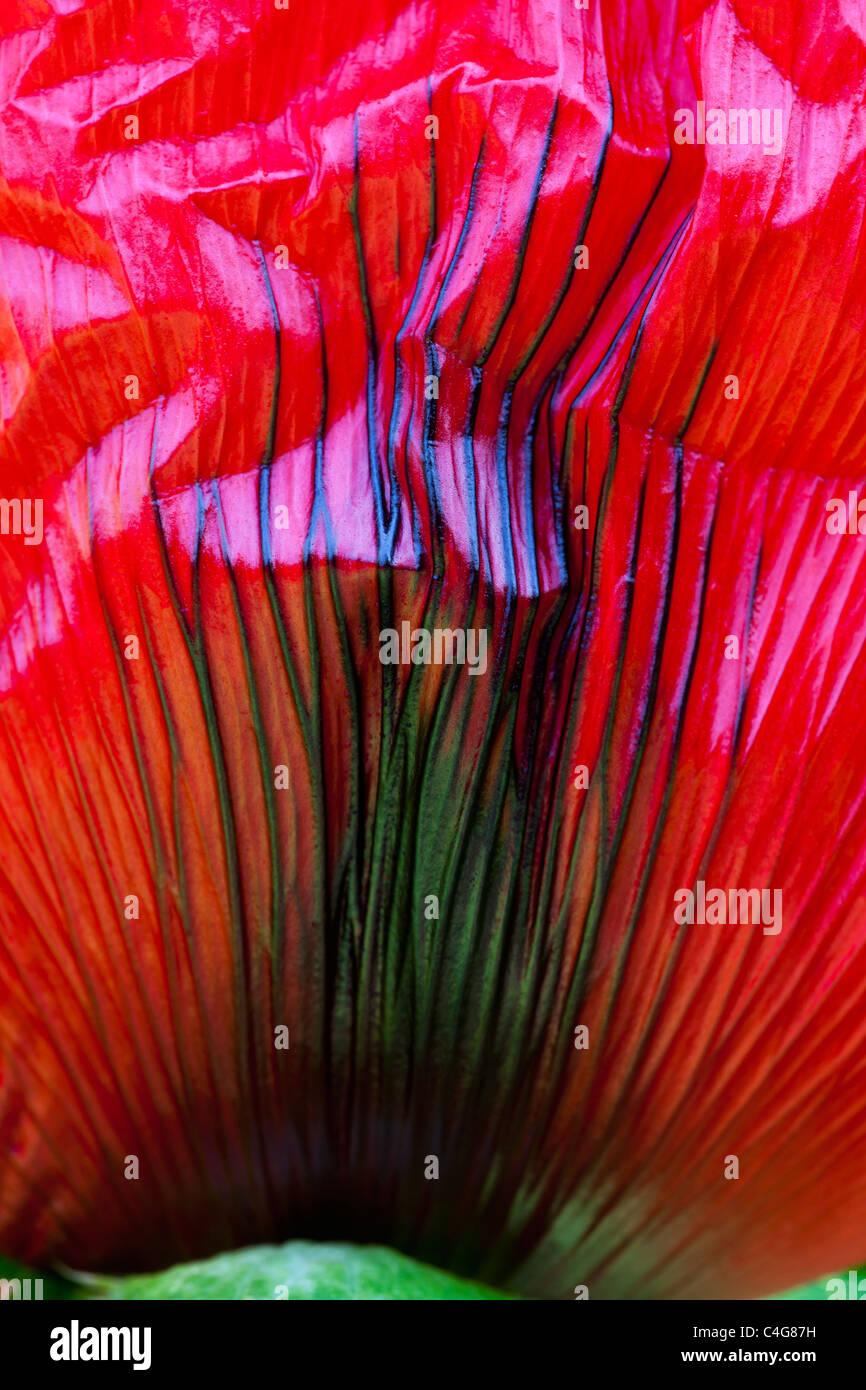 Le pavot (Papaver hybride sp.) blossom, une étude détaillée de pétale de fleur, Basse-Saxe, Photo Stock