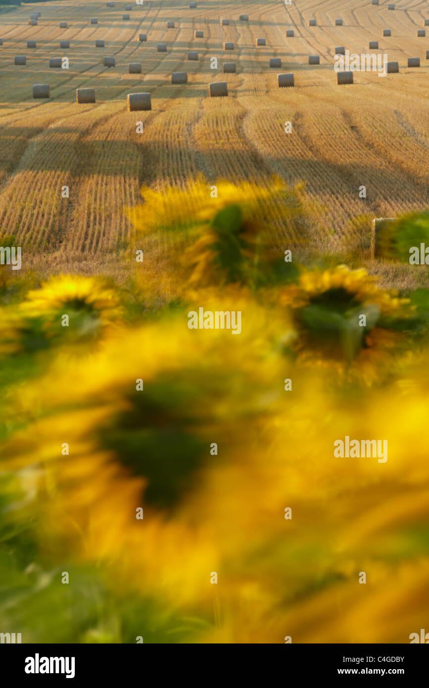 Un champ de tournesols dans le vent près de Castelnaudary, Aude, Languedoc-Roussillon, France Photo Stock