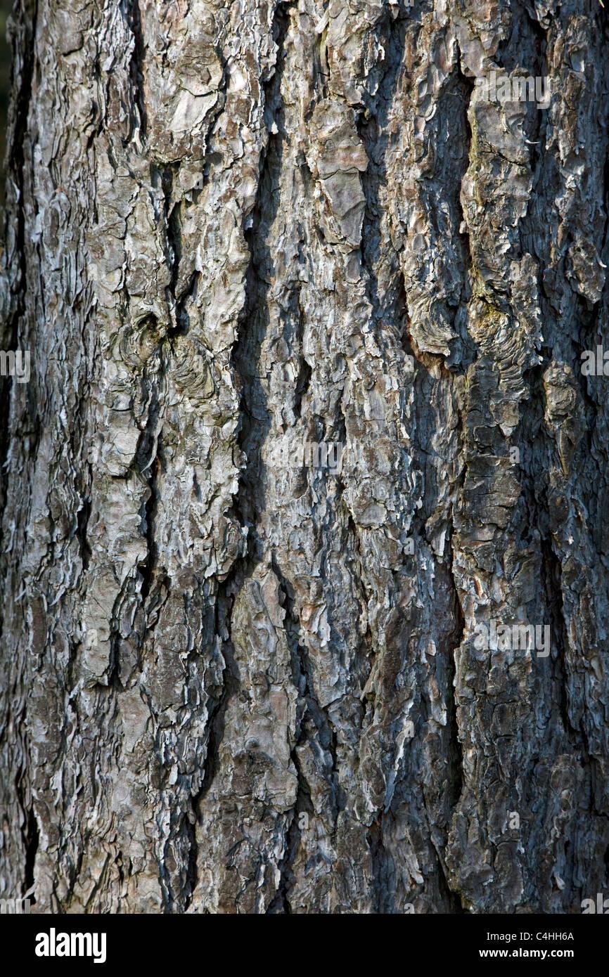 L'écorce des arbres de pin noir (Pinus nigra), Belgique Photo Stock
