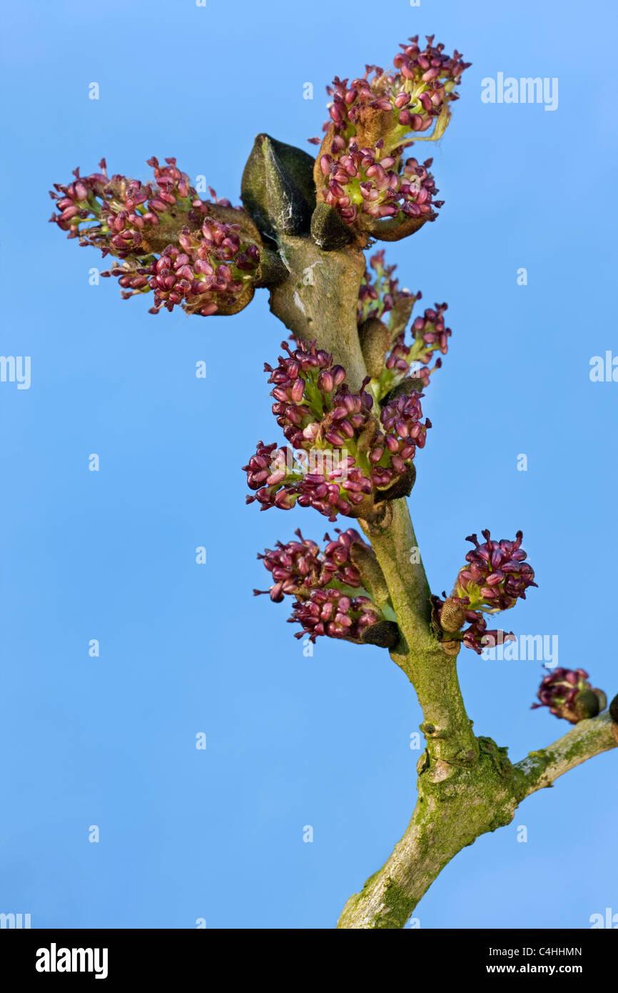 Frêne / frêne commun (Fraxinus excelsior) floraison des arbres, Belgique Photo Stock