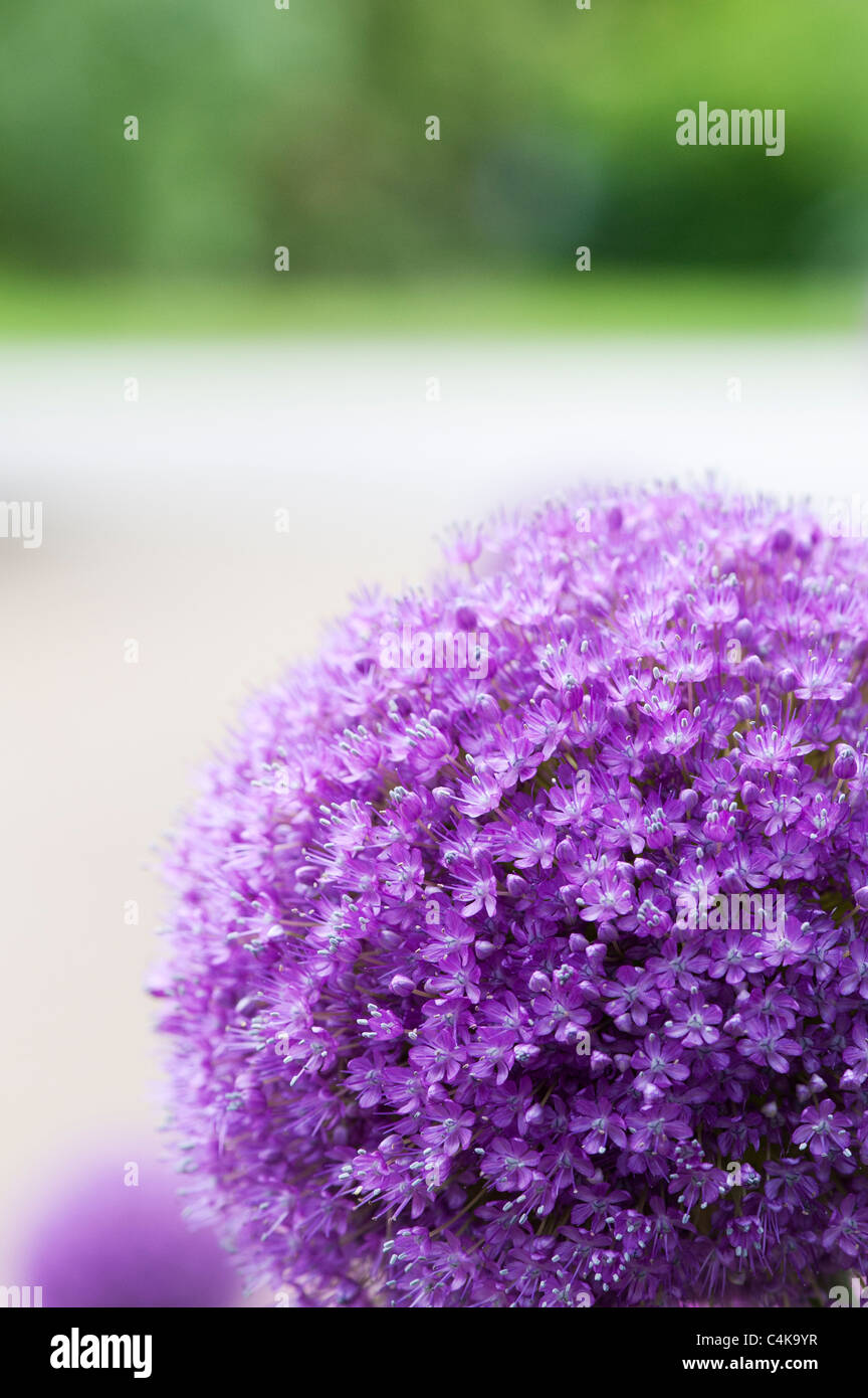 Allium 'Ambassadeur'. Oignons ornement Photo Stock