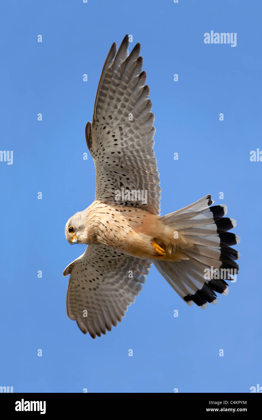 ; Kestrel Falco tinnunculus ; planer ; Cornwall Photo Stock