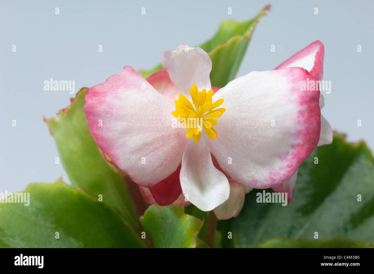 Pink Wax Flower Photos Pink Wax Flower Images Alamy