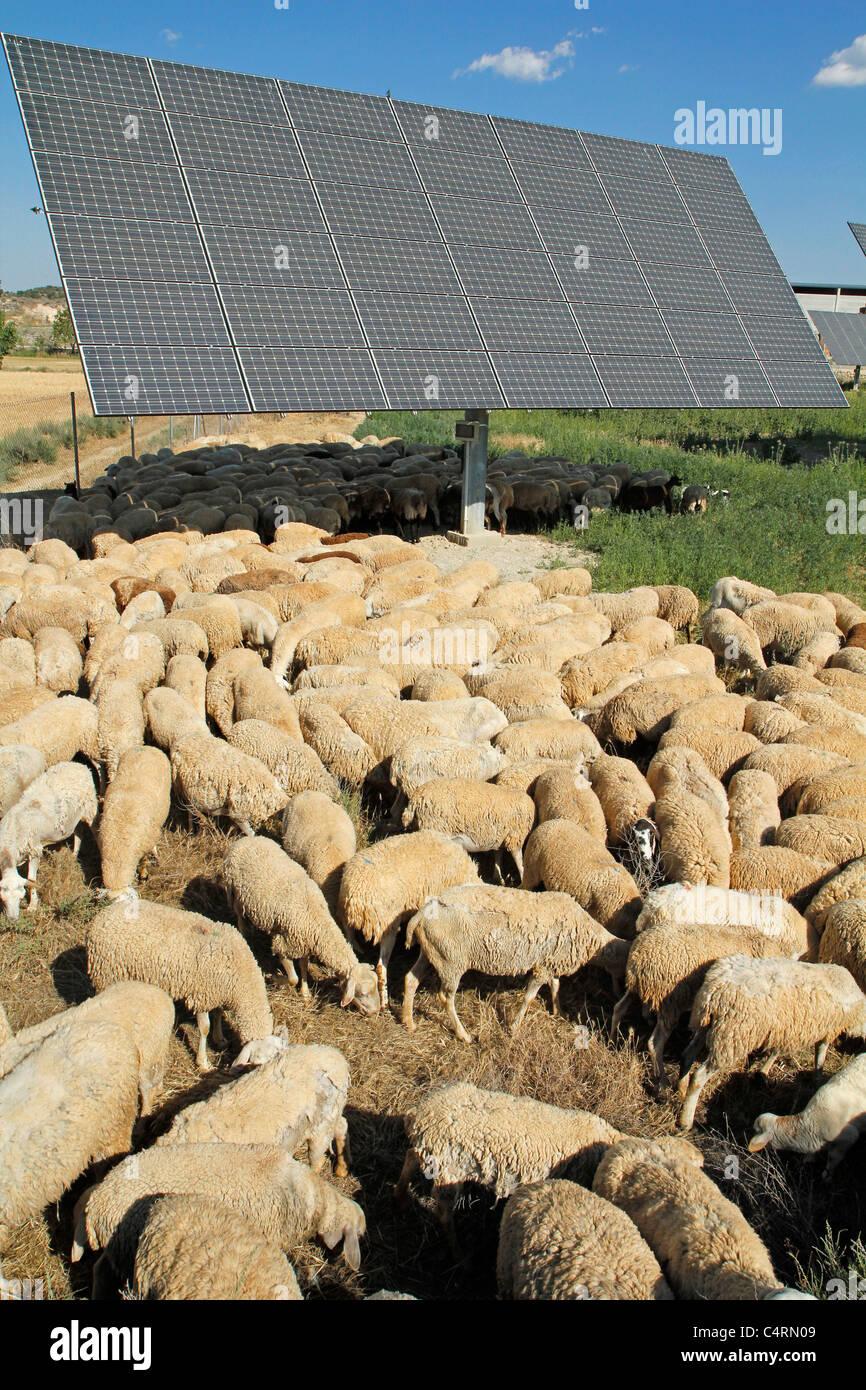 Troupeau dans un parc solaire. Barcelona, Lleida, Catalogne, Espagne. Photo Stock