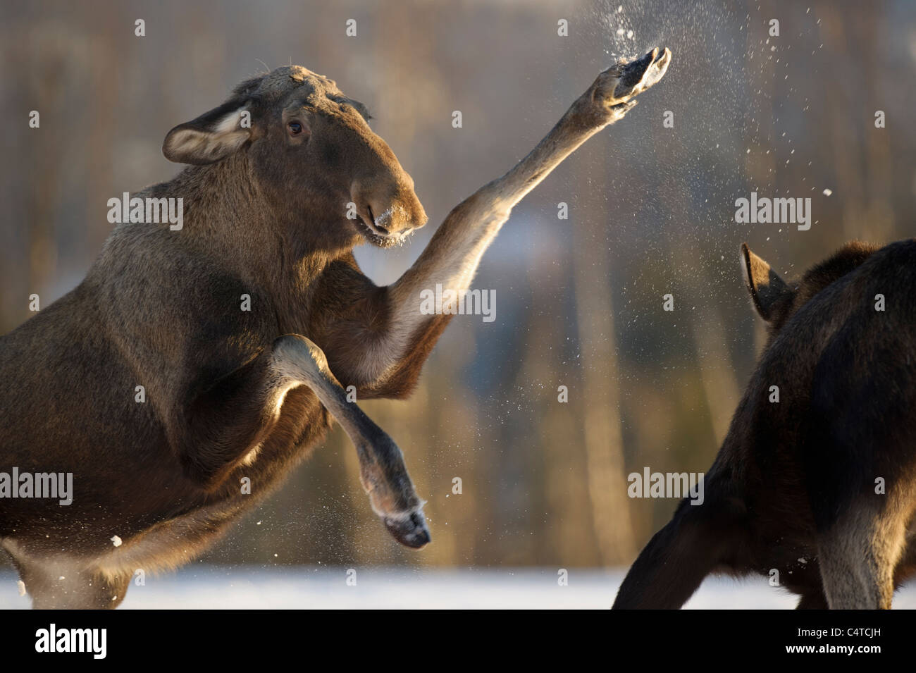 L'orignal, l'Élan (Alces alces). Les femmes qui se battent pour la nourriture, la Norvège. Photo Stock