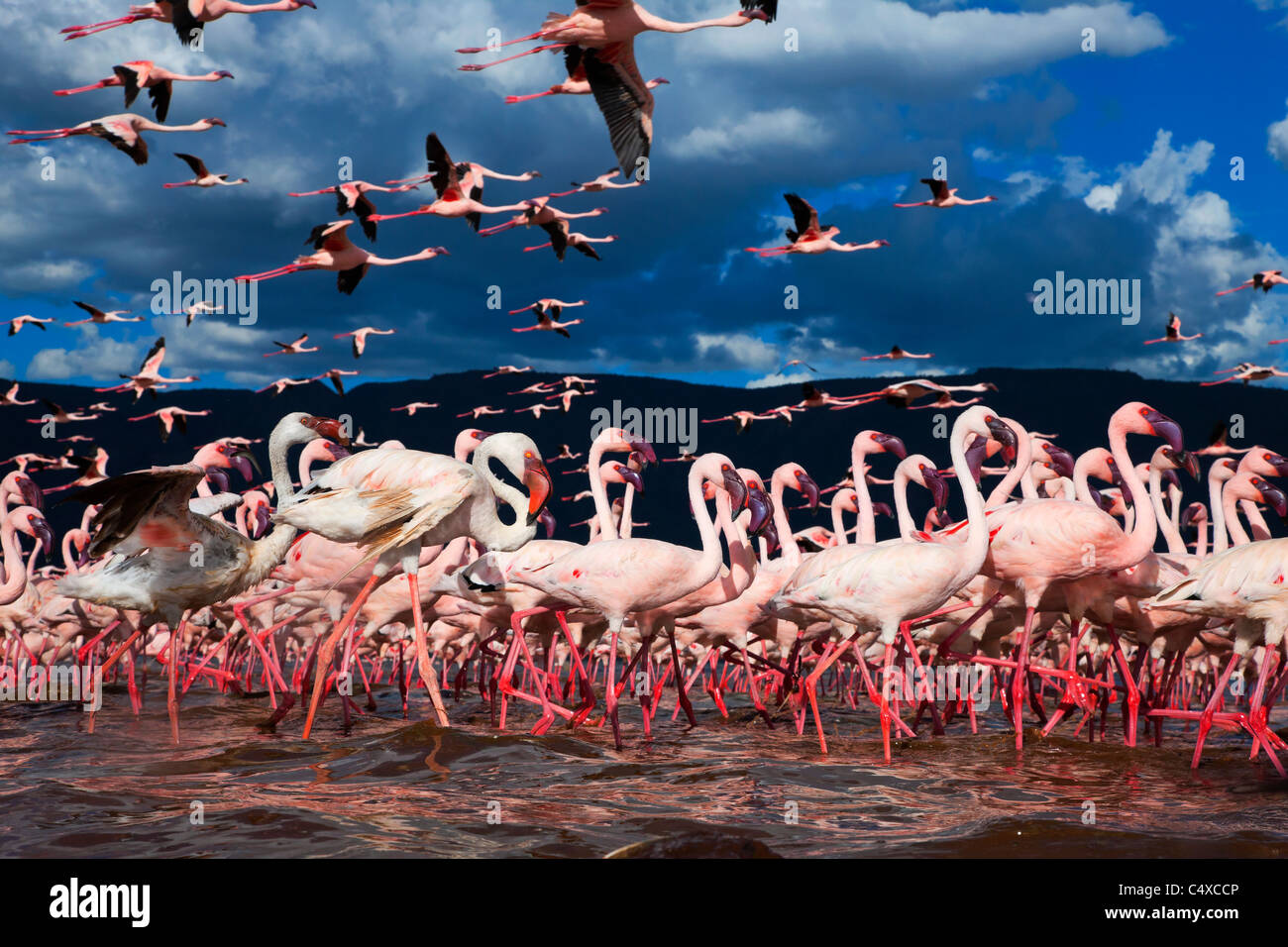 Flamant nain (Phoenicopterus minor) au lac Bogoria.Kenya Photo Stock