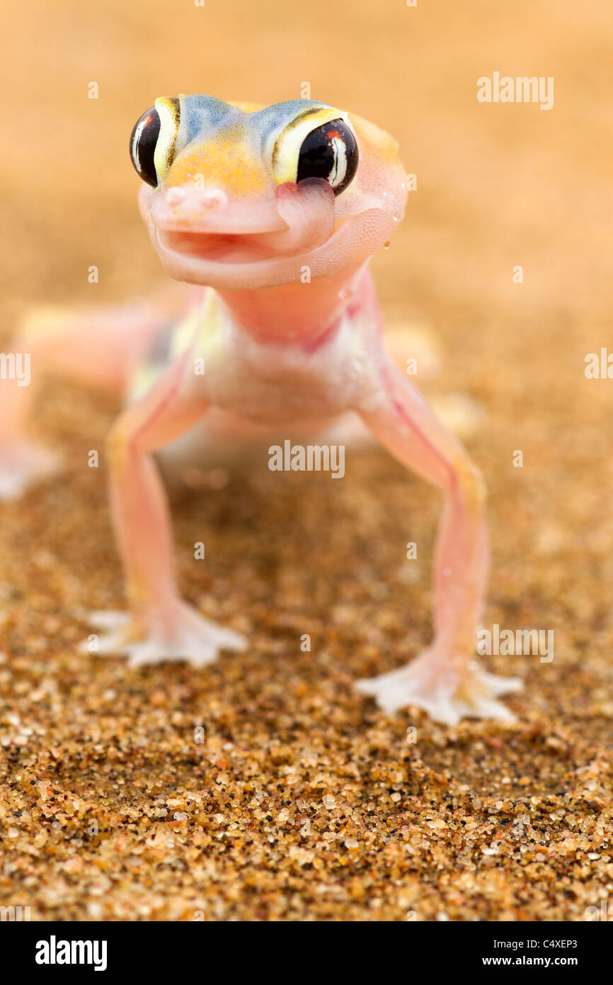 Les putois Web Gecko (Palmatogecko rangei). Les animaux nocturnes qui vivent surtout niché dans des terriers. Photo Stock