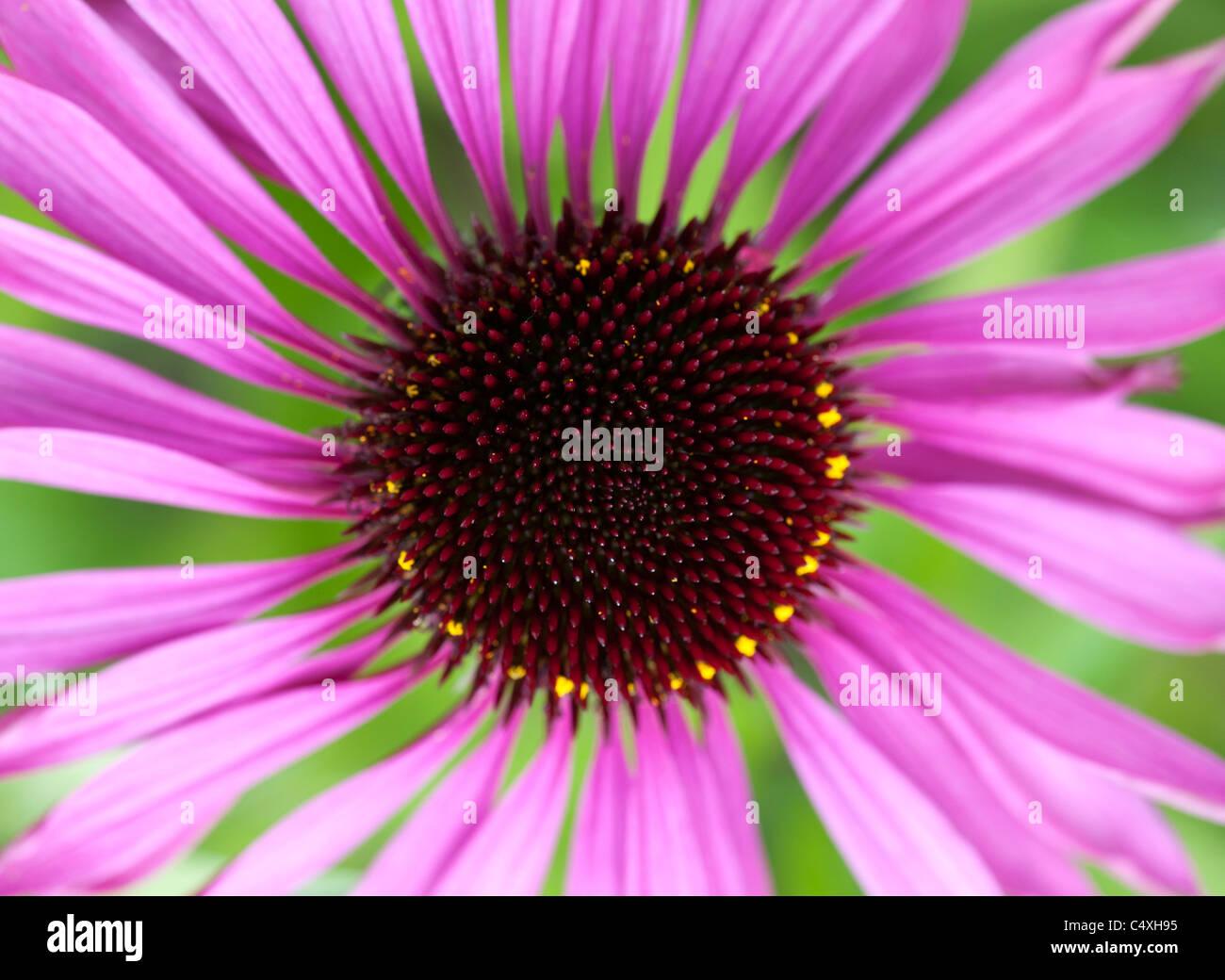 Echinacea purpurea 'Ruby Giant' échinacée Photo Stock
