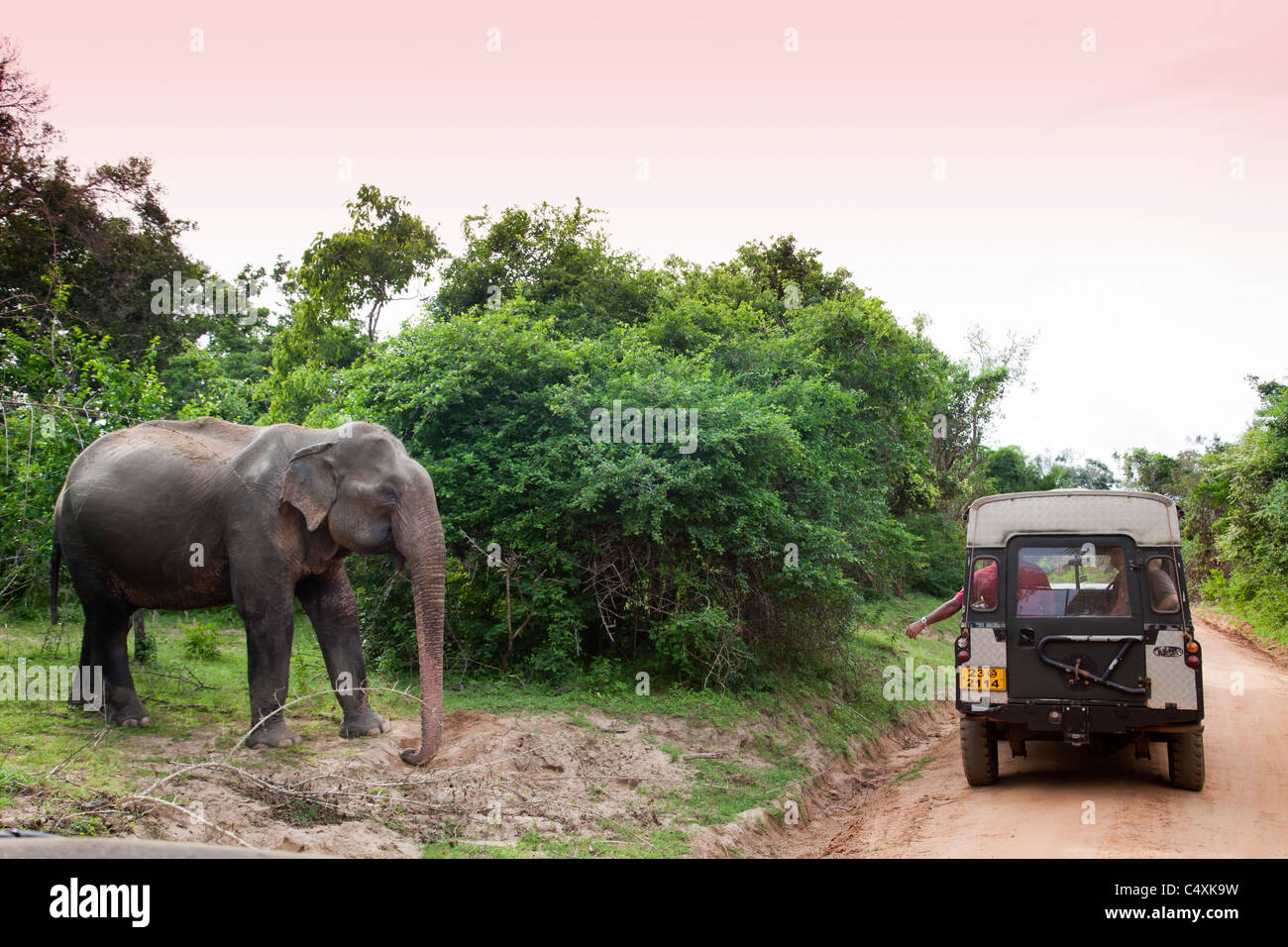 Wild Asian Elephant Elephas maximus à lécher minérales près de jungle Road en face de véhicule Photo Stock