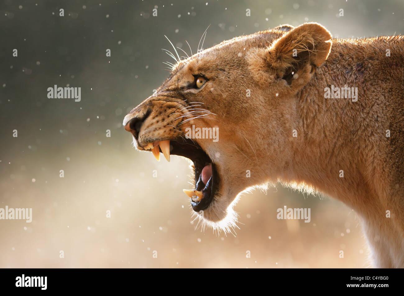 Lionne dents dangereux affiche lors d'une faible averse - Parc National Kruger - Afrique du Sud Banque D'Images