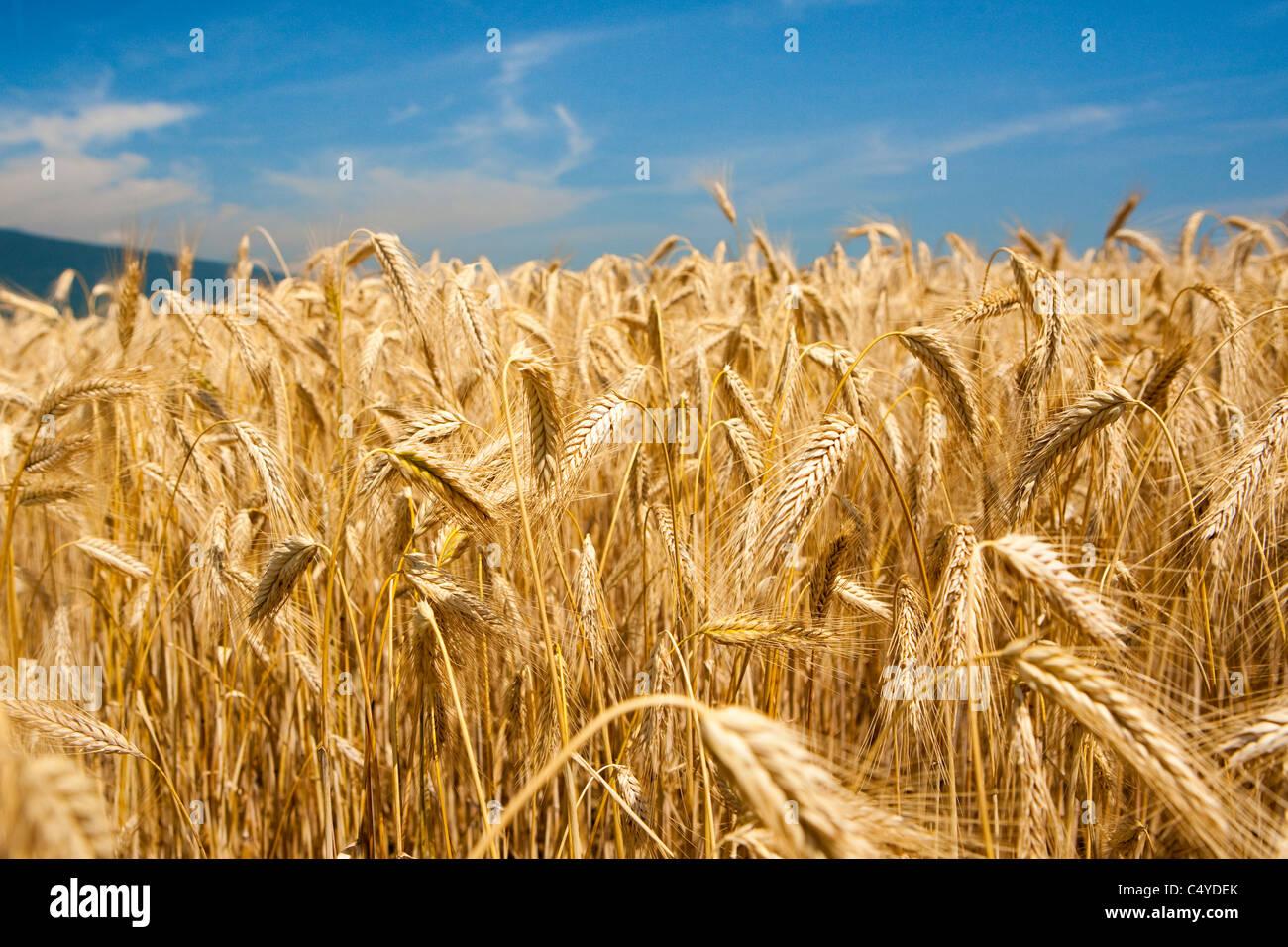 Une colline couverte par un champ de blé accompagné avec un ciel sans nuages Photo Stock