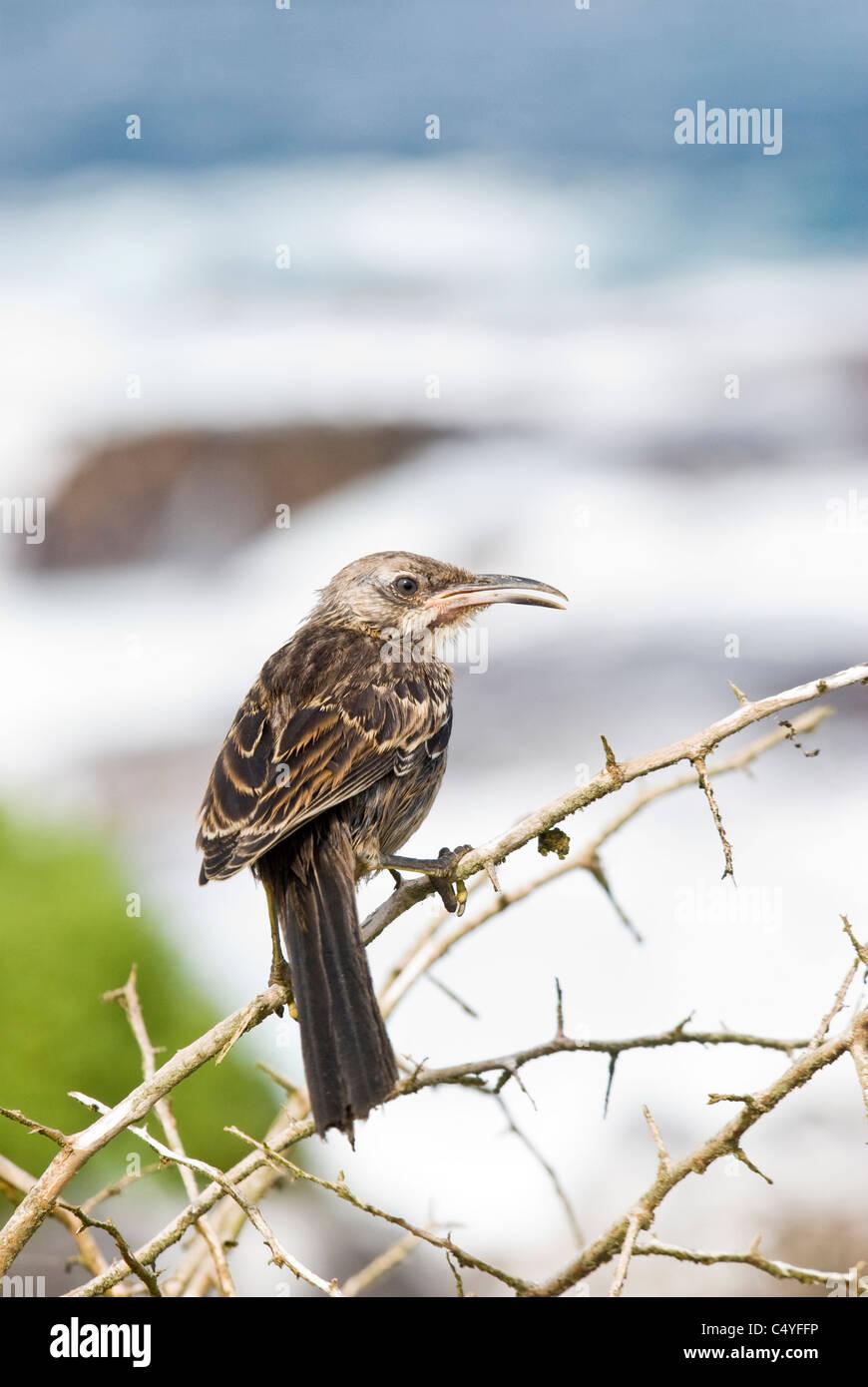 Mockingbird de capot sur Espanola (Hood) Island dans les îles Galapagos Équateur Banque D'Images
