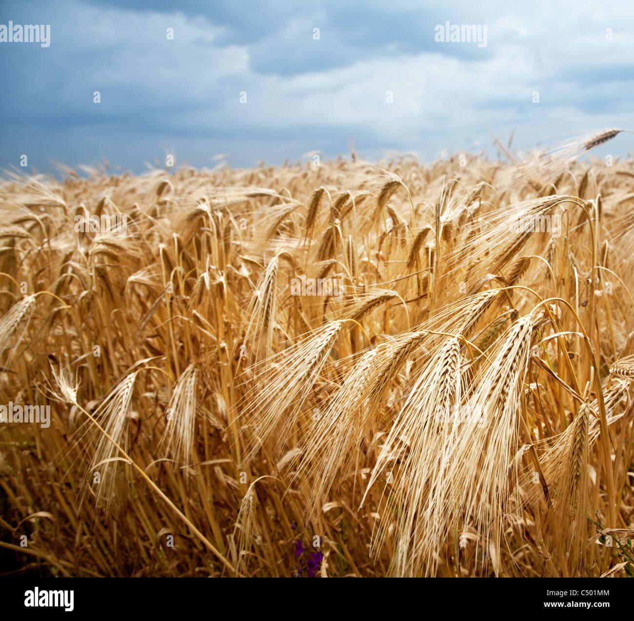 Gros plan sur une tige de blé fond de ciel bleu. Photo Stock