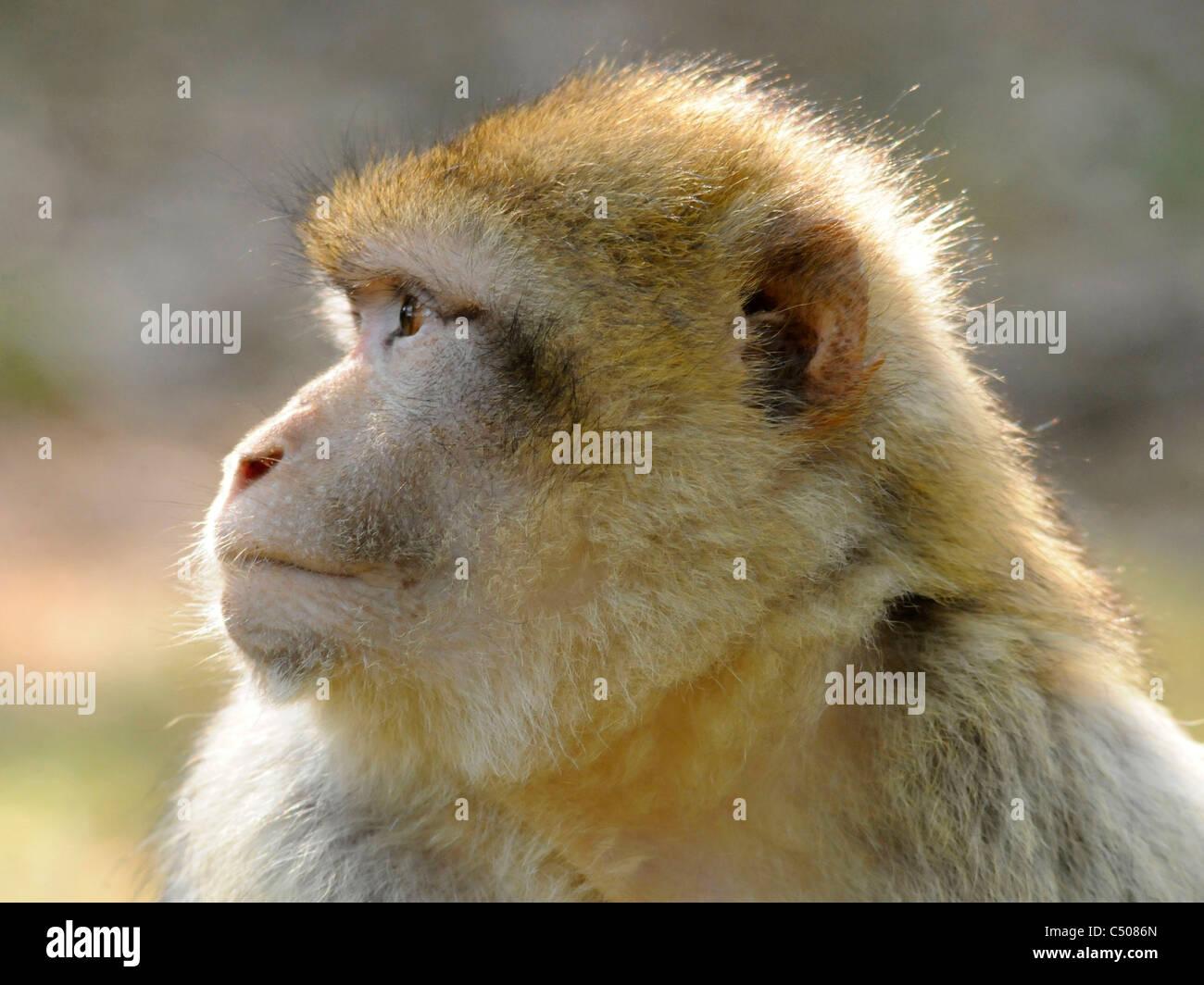 Le visage d'un singe de Barbarie aussi connu sous le nom de Silvain macaque. Photo Stock