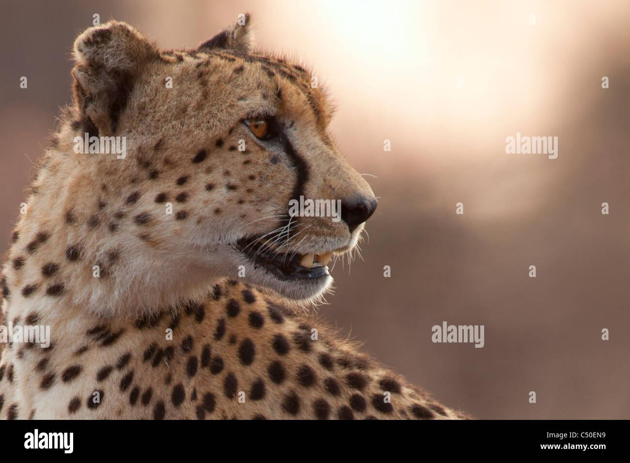 Le Guépard (Acinonyx jubatus ) Portrait à Orpen, Kruger National Park, Afrique du Sud Photo Stock