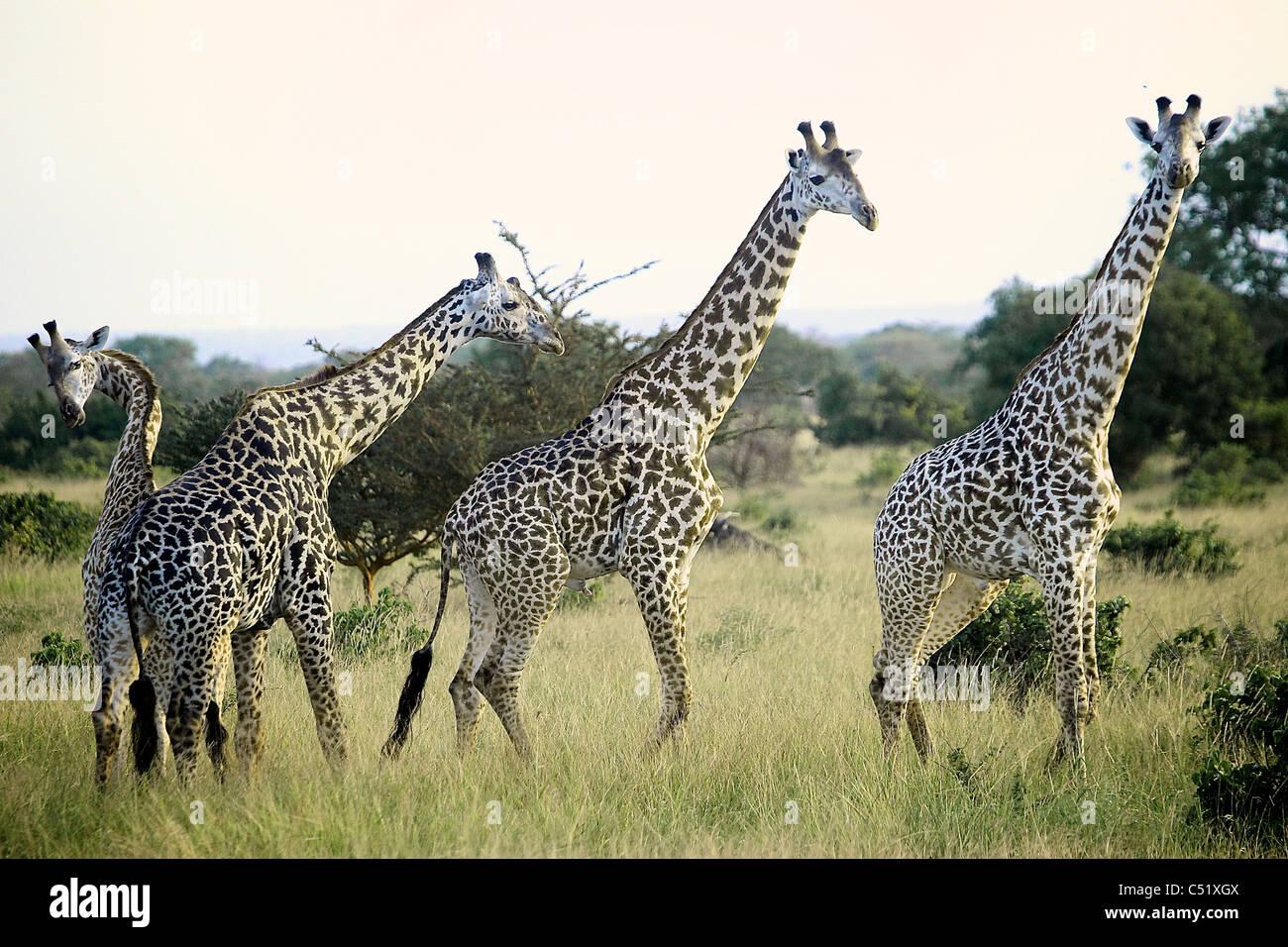 Girafe Giraffa camelopardalis Saadani Afrique Tanzanie Photo Stock