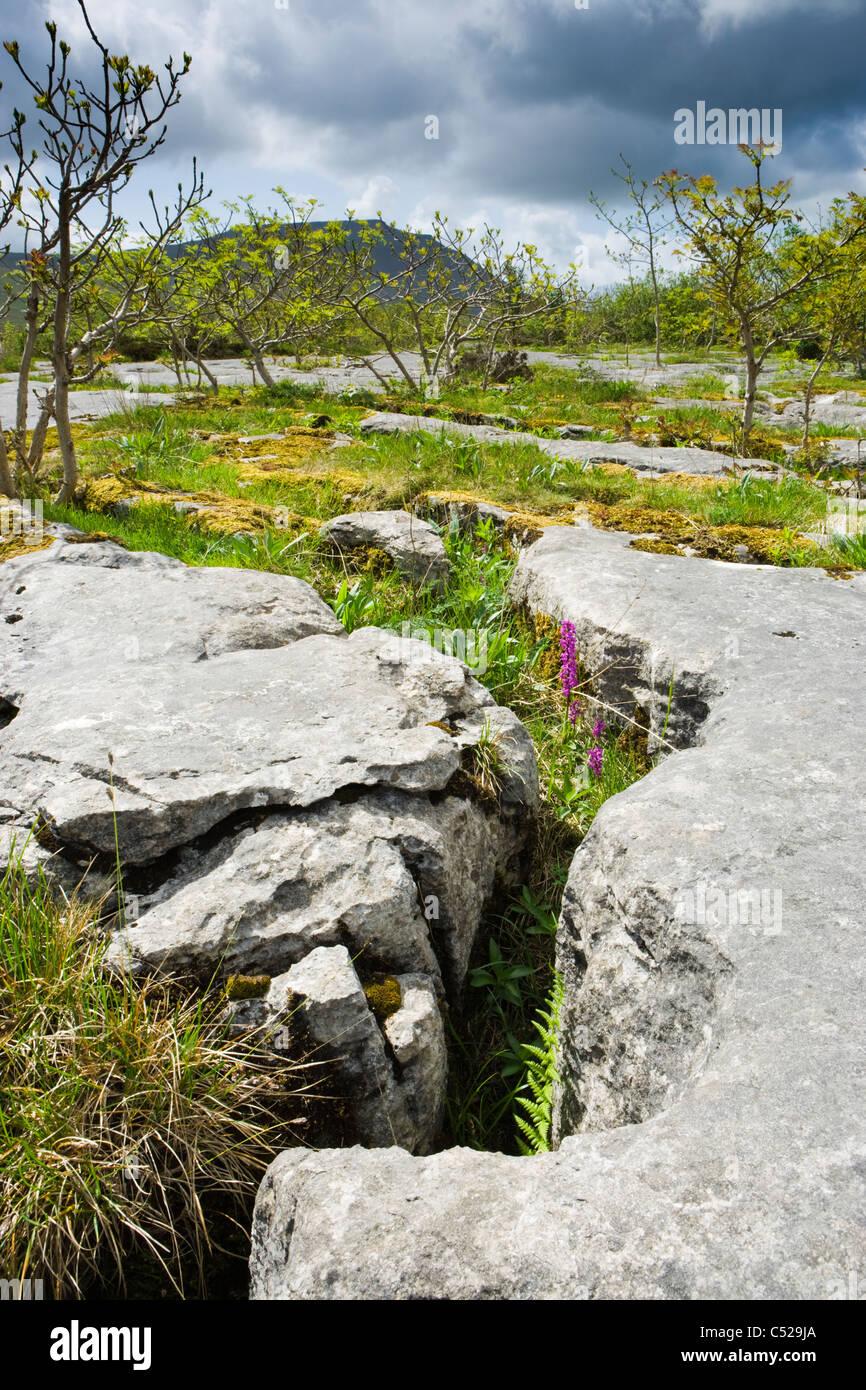 Lapiez avec Early Purple Orchidées, Chapelle-le-Dale, Yorkshire Dales National Park, Royaume-Uni. Ingleborough Photo Stock