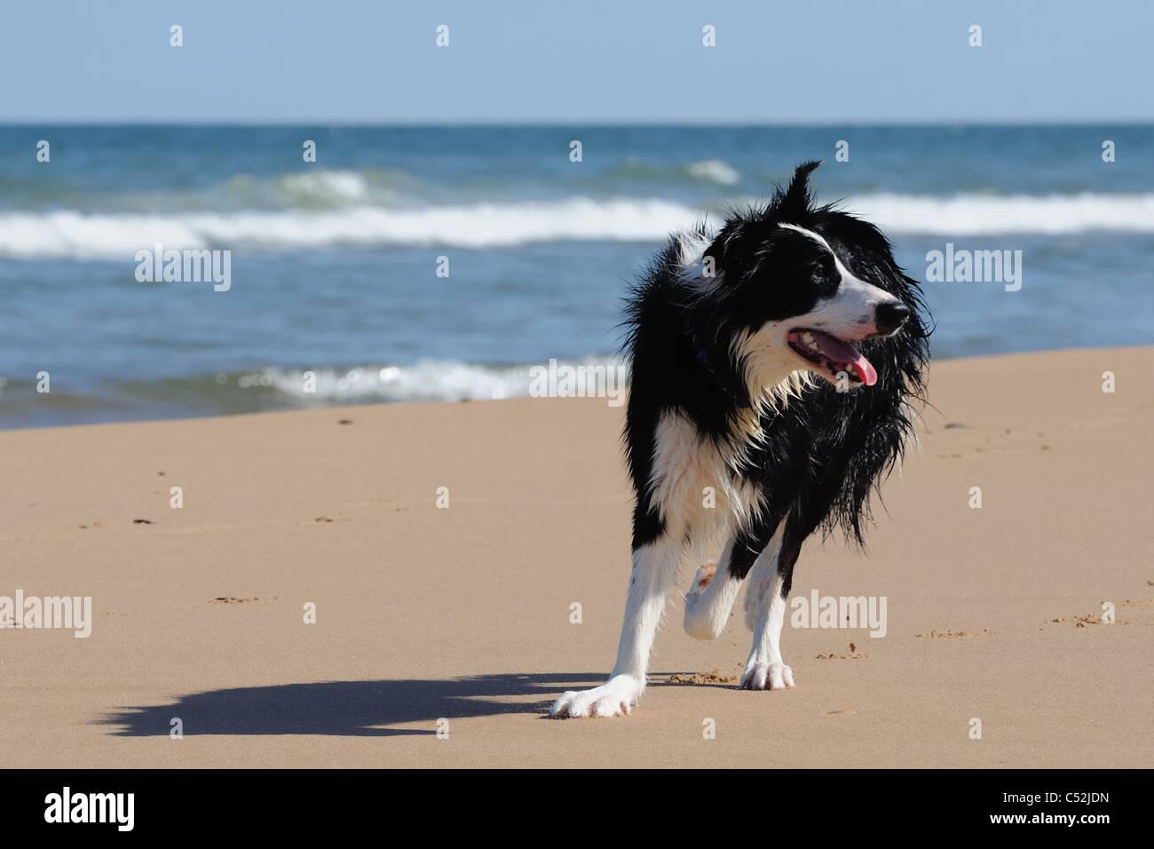 Colley chien s'amusant sur la plage de sable ensoleillée à Aberdeen Banque D'Images