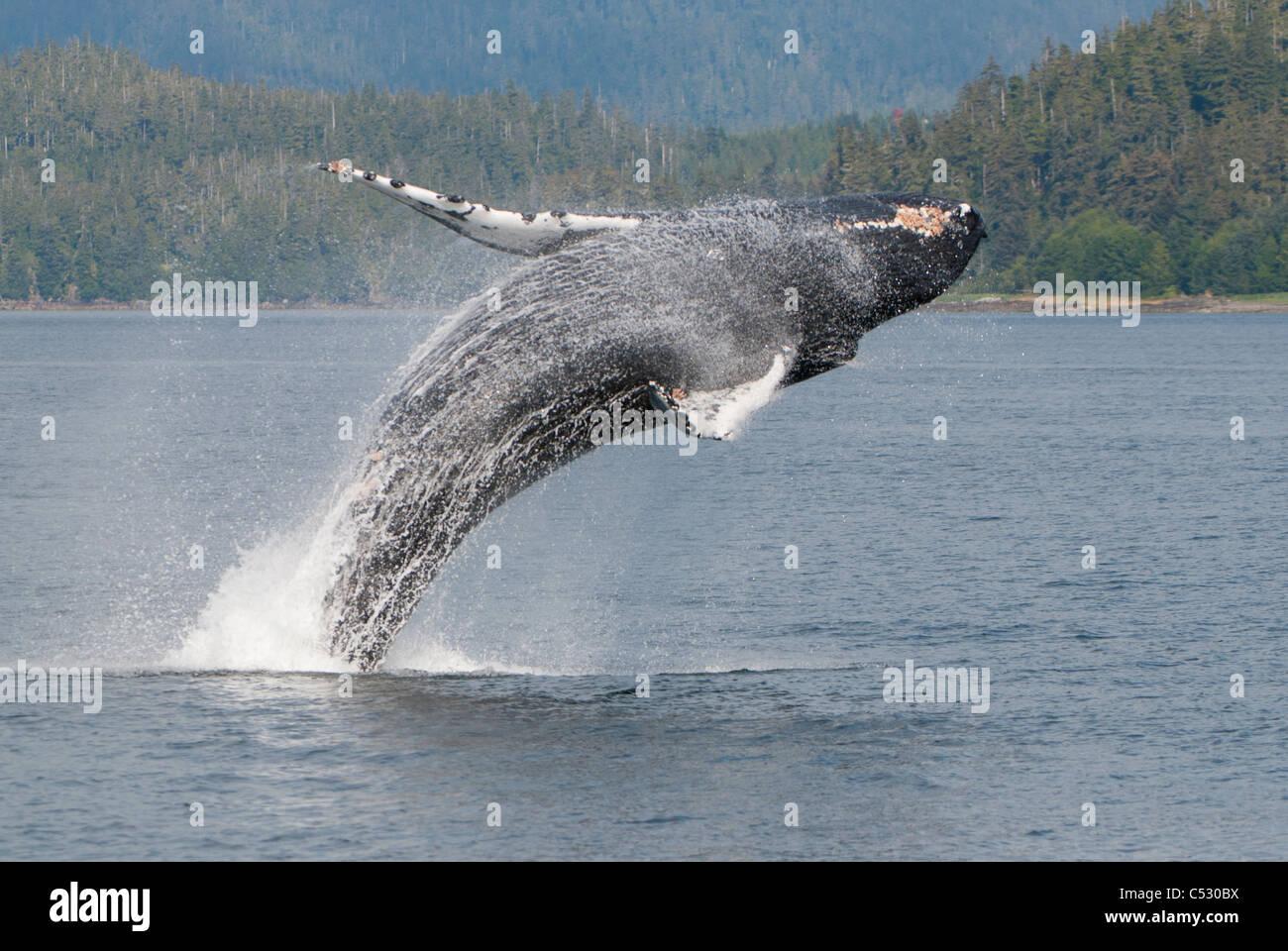 Humpback Whale breaching en Frederick Sound, le passage de l'intérieur, le sud-est de l'Alaska, l'été Photo Stock