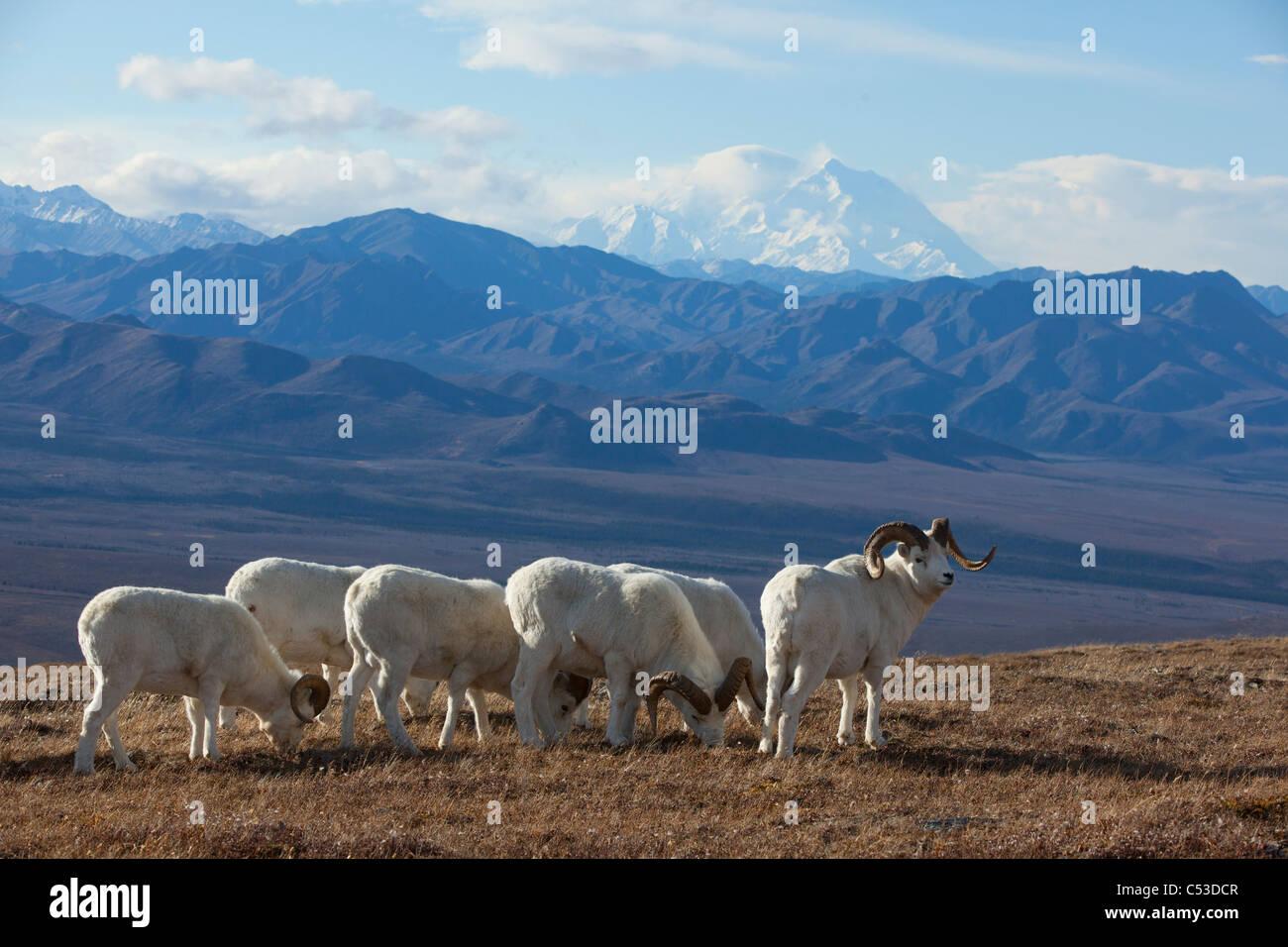 Bande de mouflons de Dall et le pâturage permanent ram dans une haute montagne prairie avec Mt. McKinley dans Photo Stock
