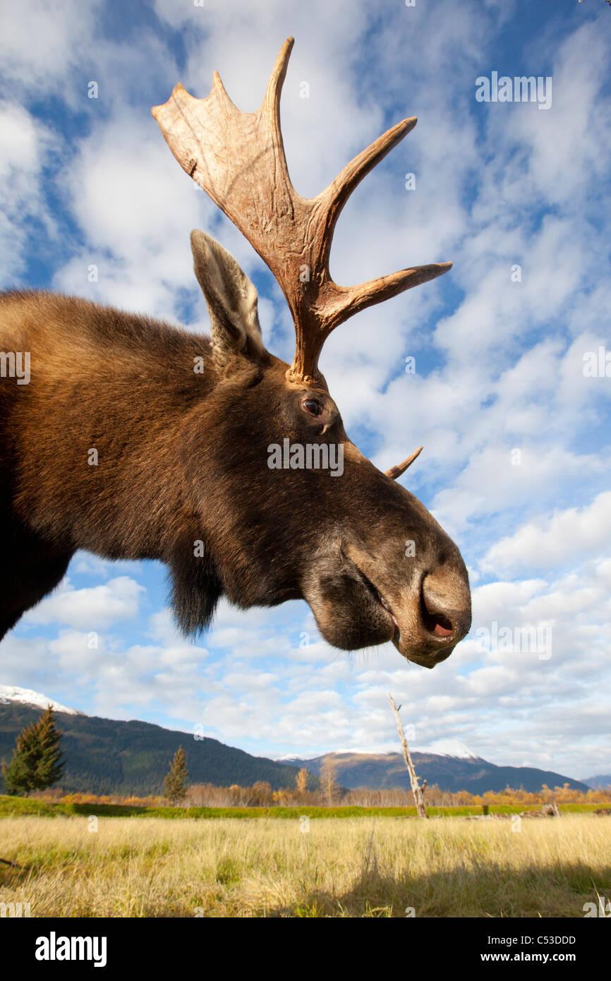 Un faible angle photo d'un orignal mâle est pris la tête et du cou, de l'Alaska Wildlife Conservation Photo Stock