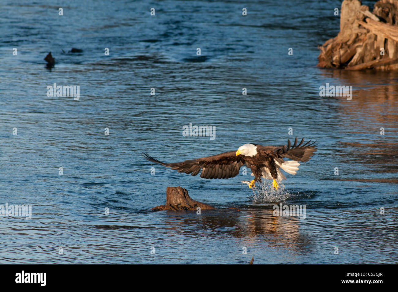 Aigle à tête attrape un poisson hooligan dans ses serres, tandis que la pêche dans l'Alaganik Photo Stock