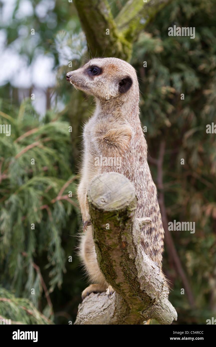 Une belle Meerkat debout sur une branche Photo Stock