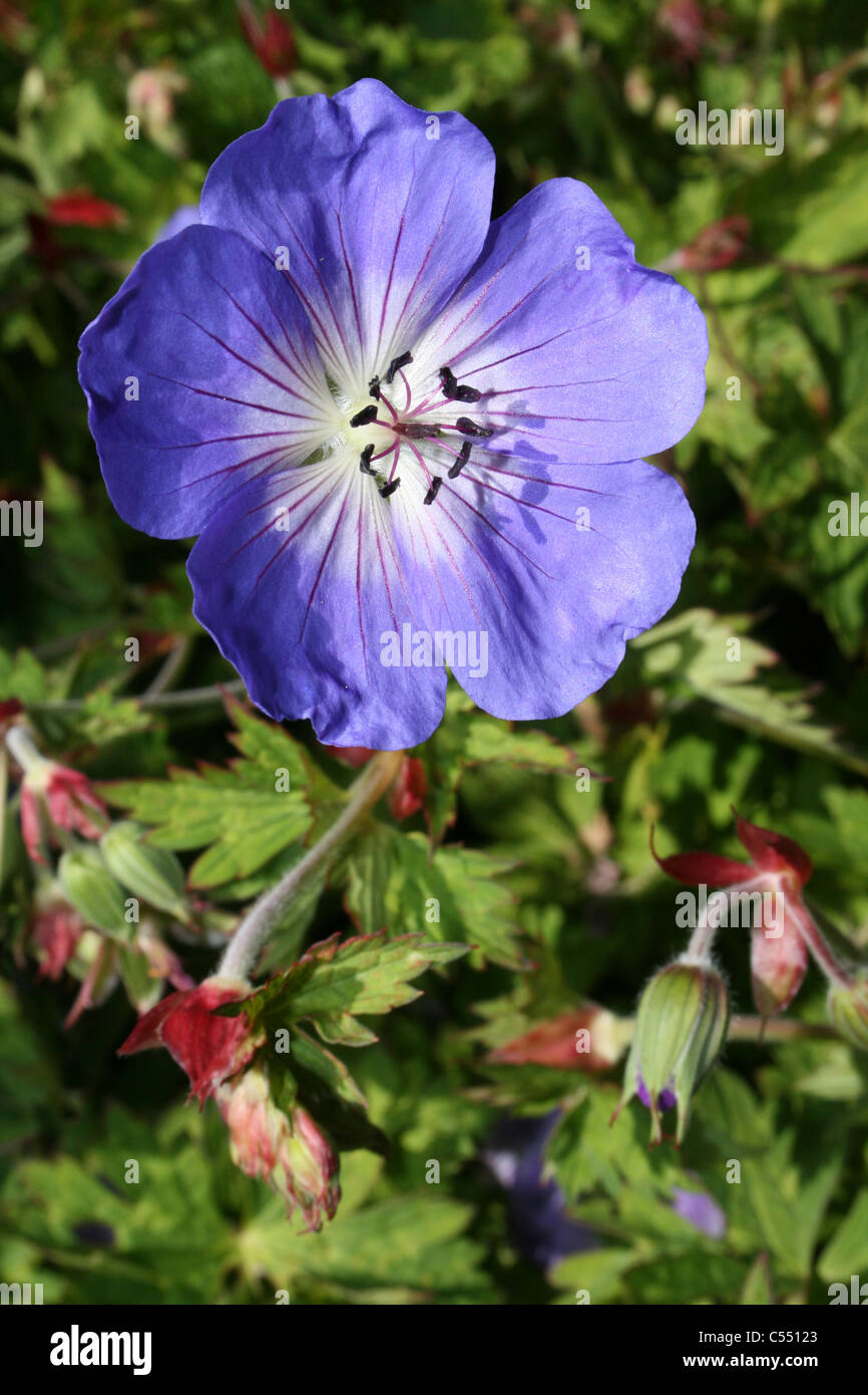 Géranium sanguin pourpre Geranium 'Jolly Bee' Photo Stock