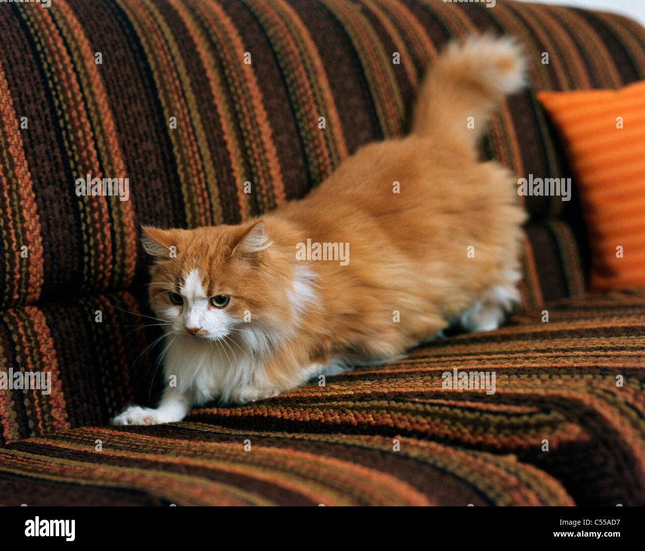 Chat persan Banque D'Images