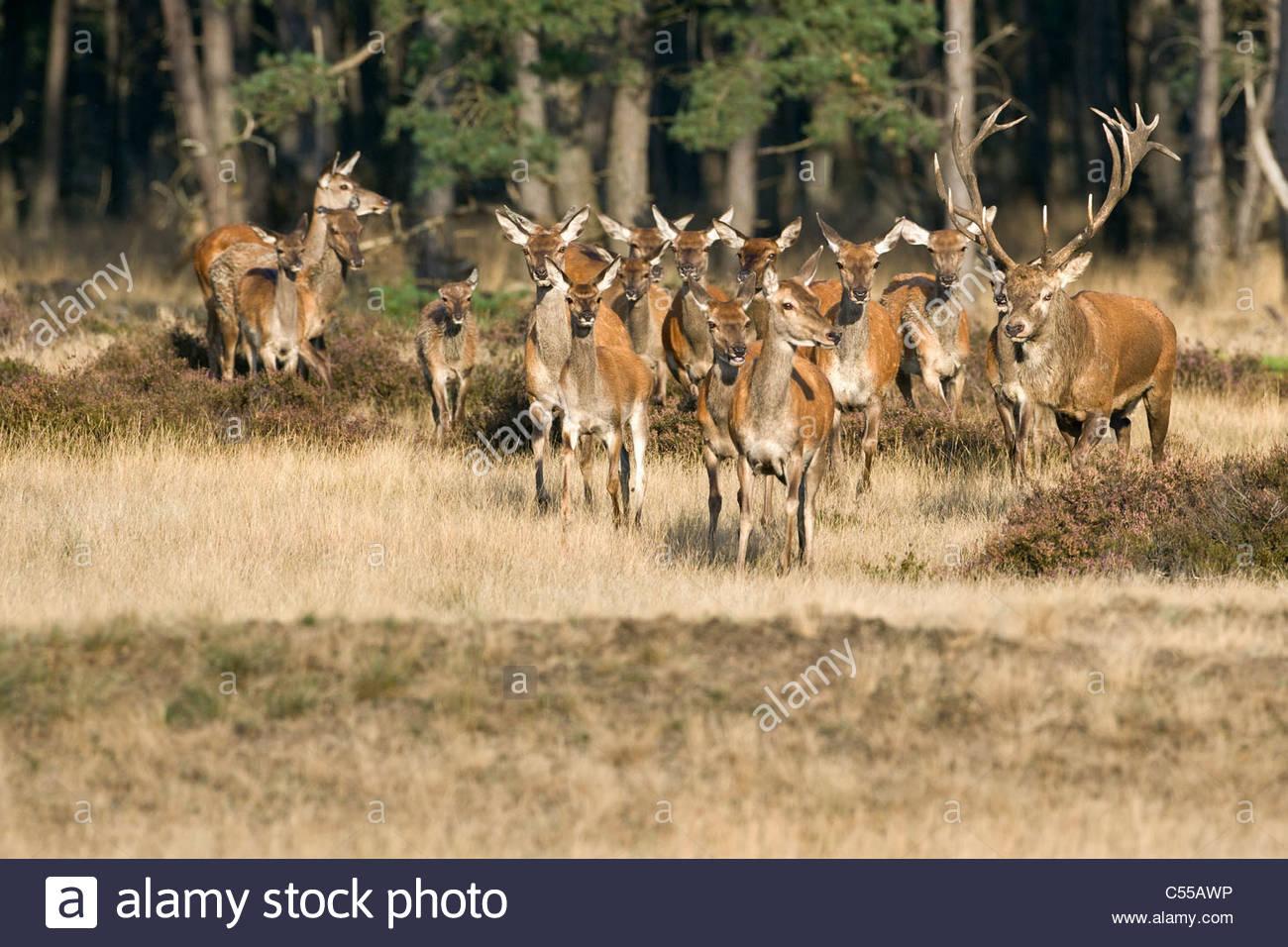 Les Pays-Bas, Otterloo, appelé parc national De Hoge Veluwe. Red Deer (Cervus elaphus). Photo Stock