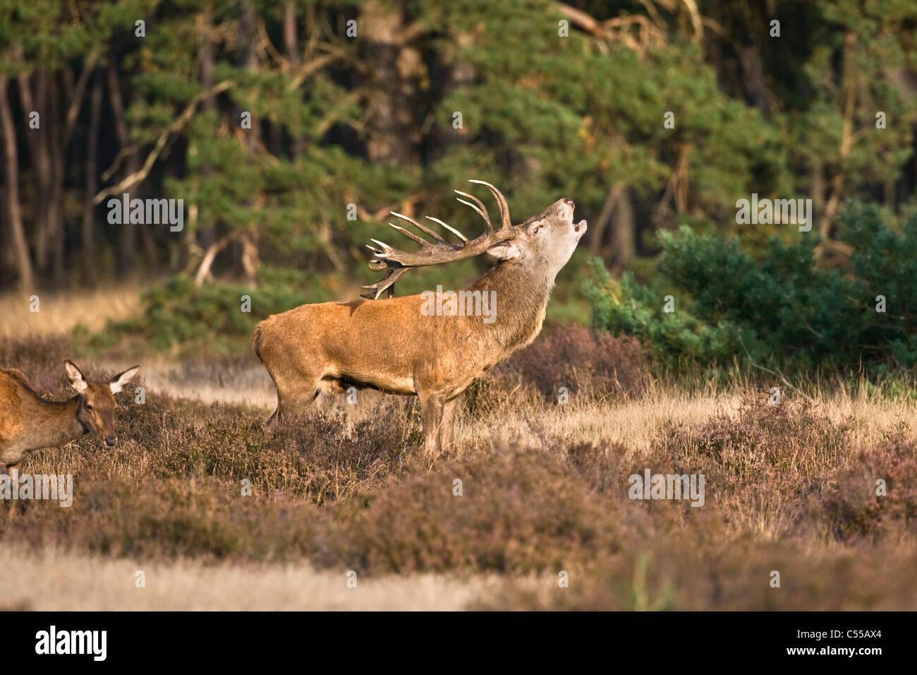 Les Pays-Bas, Otterlo, appelé parc national De Hoge Veluwe. Red Deer (Cervus elaphus). Photo Stock