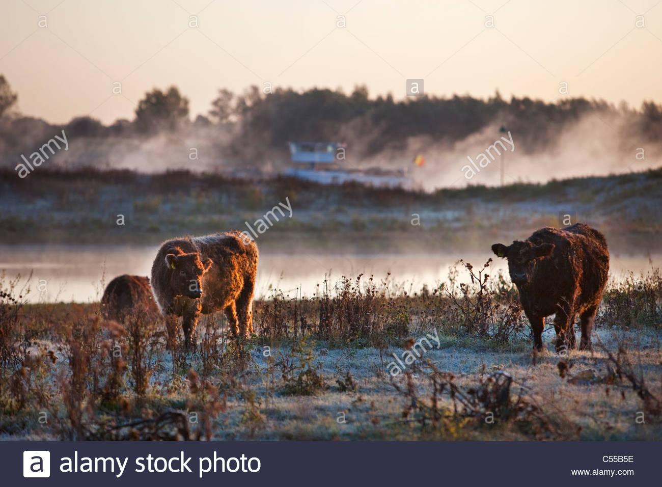 Les Pays-Bas, Ooij Ooij,-polder. Vache Galloway. Contexte: cargo sur la rivière Waal. Photo Stock