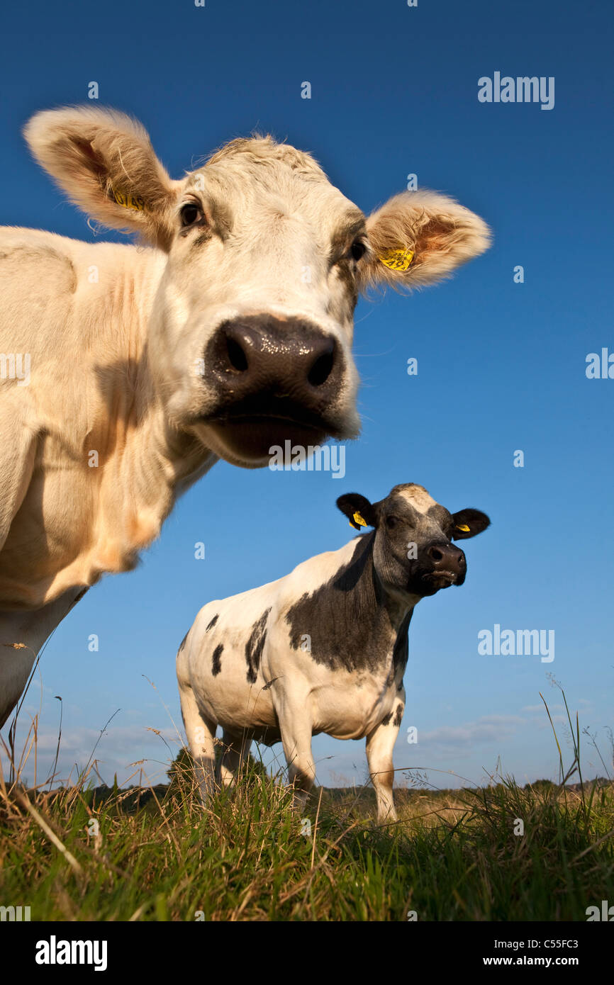 Les Pays-Bas, Epen, Close up vaches Photo Stock