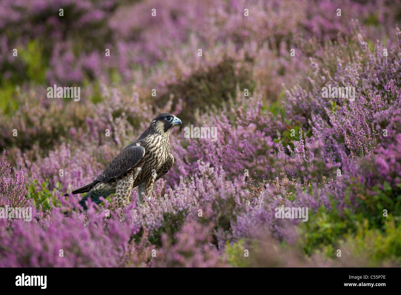 Le faucon pèlerin (Falco peregrinus) dans un champ de bruyère, Hyeres, France Banque D'Images