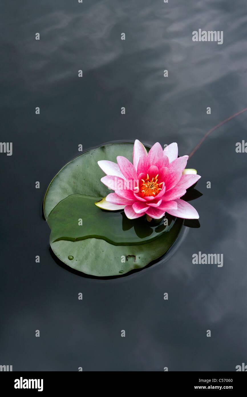 Les Pays-Bas, 's-Graveland. Water Lilies Banque D'Images
