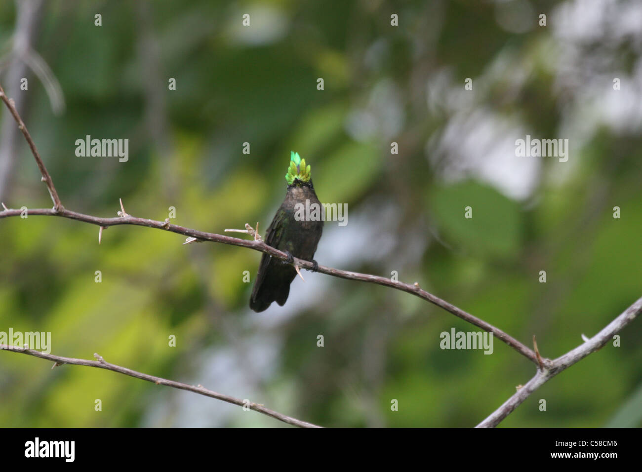 Antillean crested Humming Bird Photo Stock