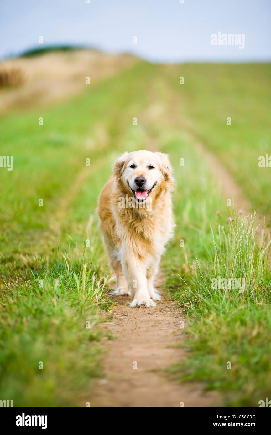 Femme élégante Golden Retriever en promenade dans la campagne Photo Stock