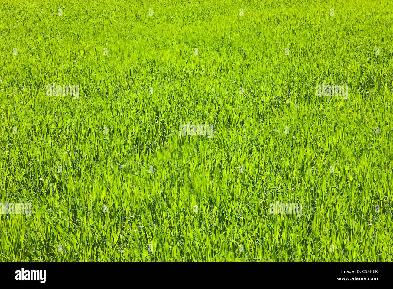 La nature, l'herbe, plante, tondu, pelouses, brins d'herbe, prairie, vert Banque D'Images