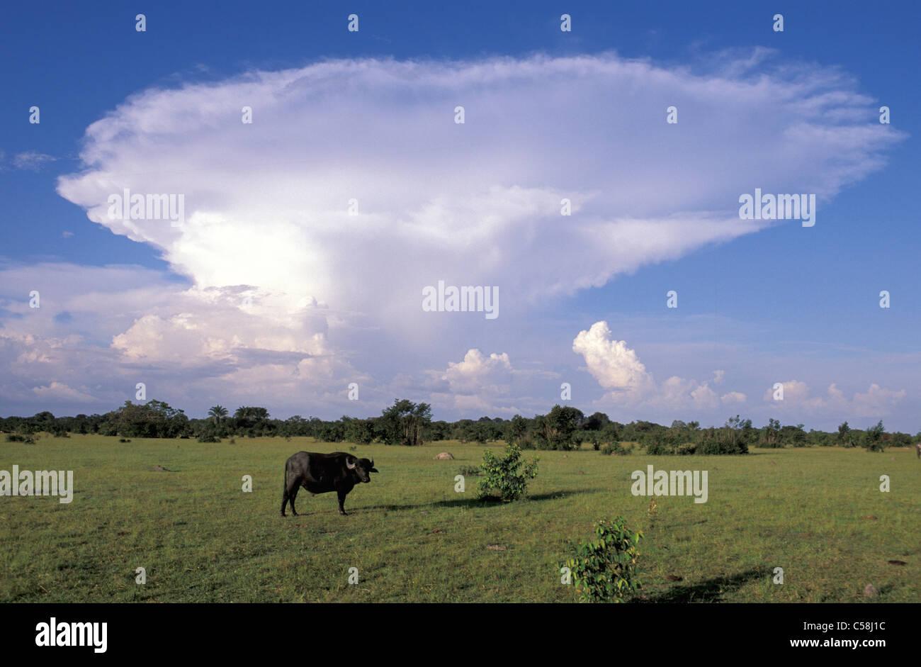 Fazenda, Bull, Ilha do Marajo, Amazon delta, Amazonie, Brésil, Amérique du Sud, de l'agriculture, animal Banque D'Images