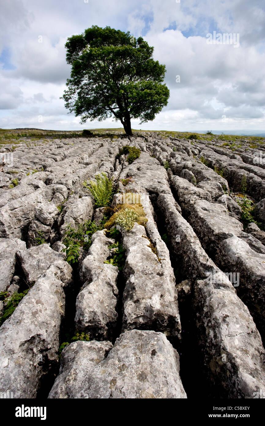 Arbre isolé et de calcaire au-dessus de la chaussée Malham Cove et Gordale Scar, Malhamdale, Yorkshire Photo Stock