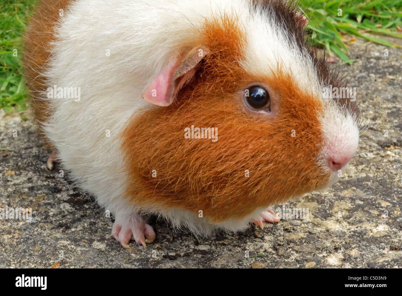 Cochon d'Inde Photo Stock