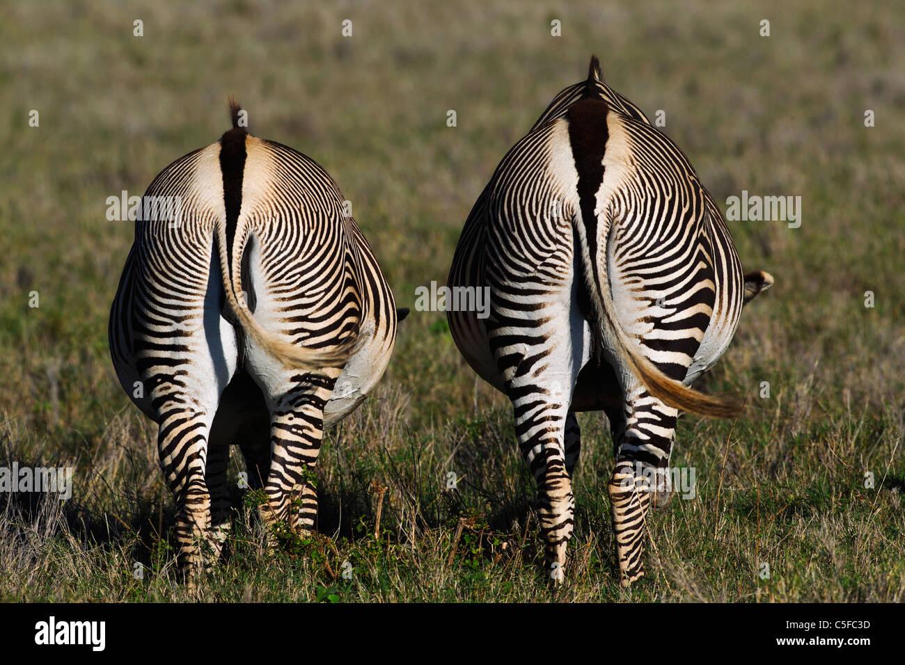 Le Zèbre de Grévy (Equus grevyi). Kenya Photo Stock