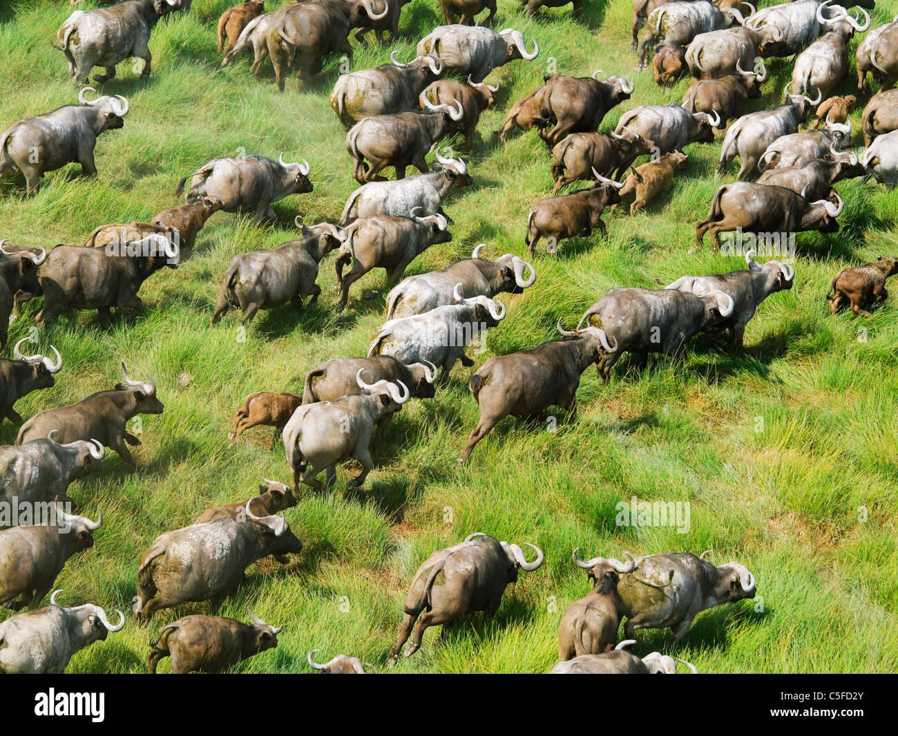 Vue aérienne de buffle (Syncerus caffer) au Kenya. Photo Stock