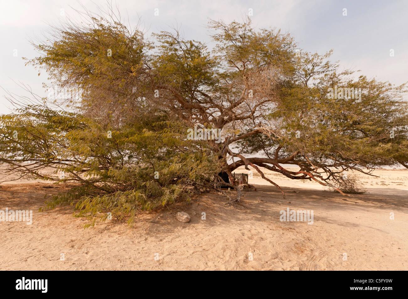 Elk204-1521 Bahreïn, Arbre de Vie (mesquite) Banque D'Images