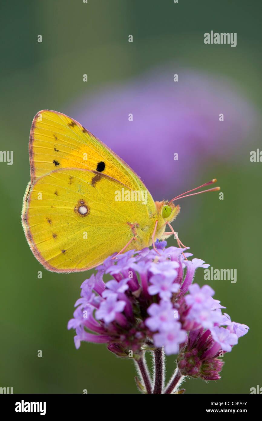 Papillon jaune assombrie; Colias croceus; sur fleur de verveine Photo Stock