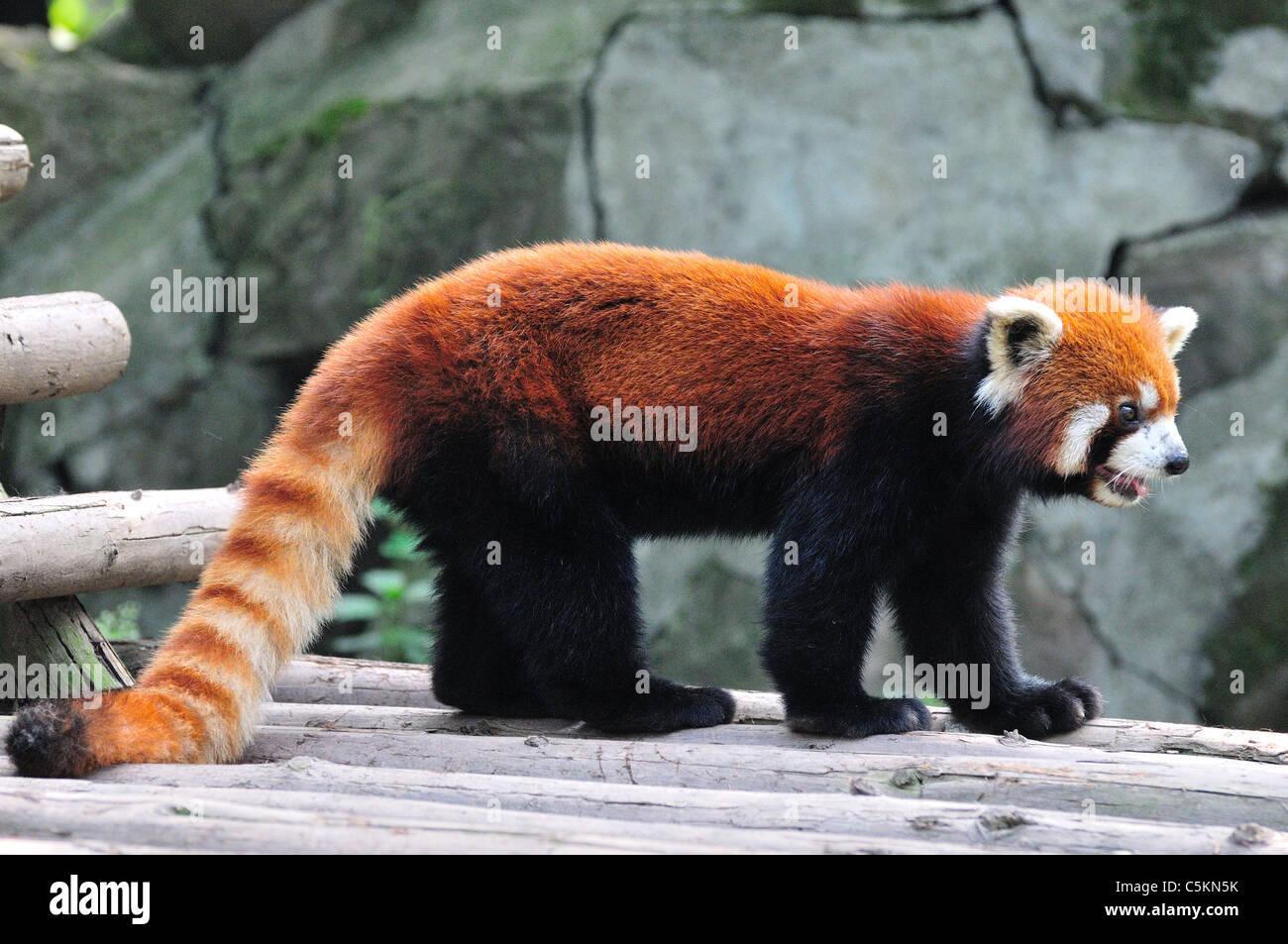 Le panda rouge (Ailurus fulgens). Base de recherche de Chengdu Panda géant de l'élevage, Chengdu, Chine. Banque D'Images