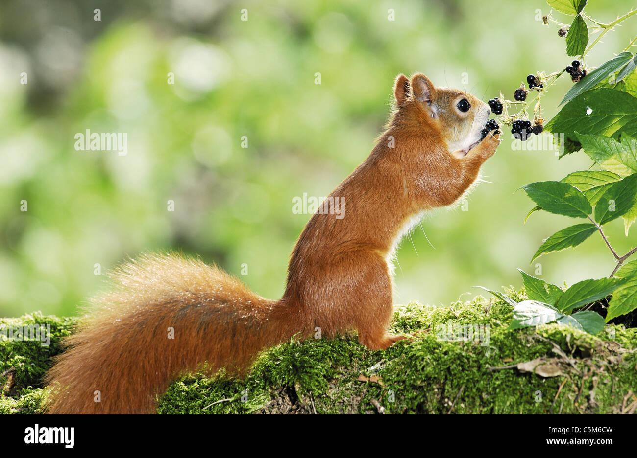 L'écureuil roux européen de manger des mûres Photo Stock