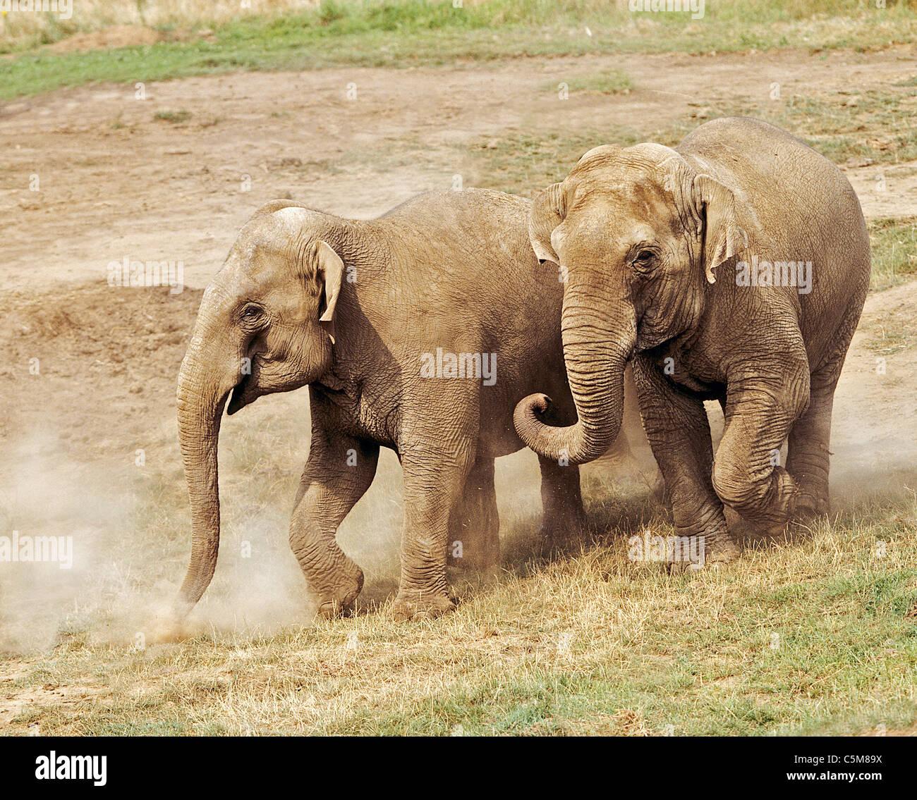 Deux éléphants asiatiques / Elephas maximus Photo Stock