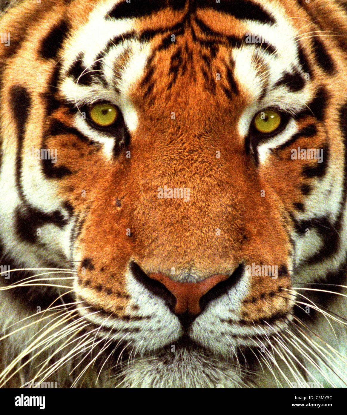 Une t te de tigre c 39 est un tigre de sib rie panthera - Image tete de tigre ...