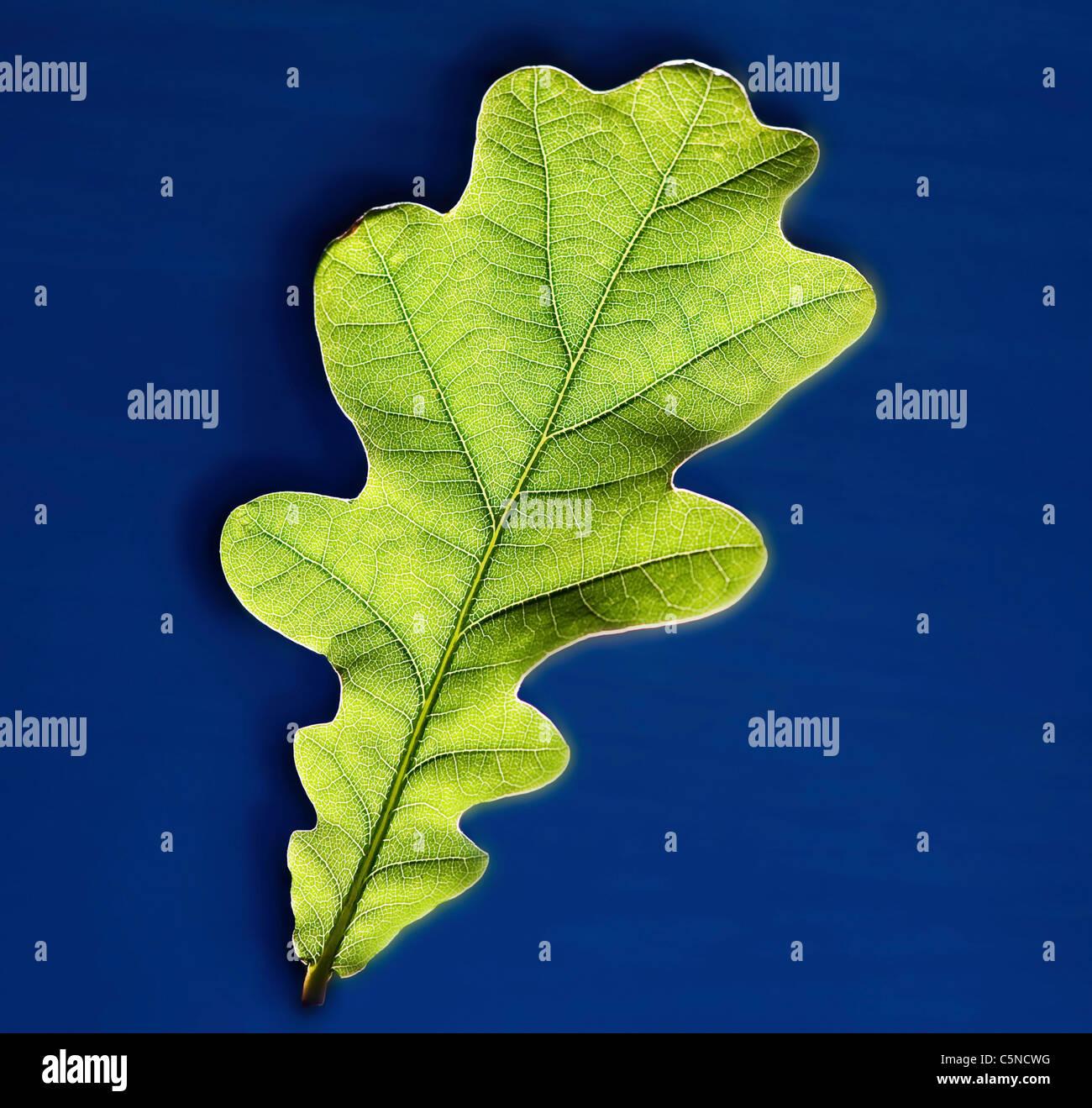 Une feuille verte sur une surface bleue Photo Stock